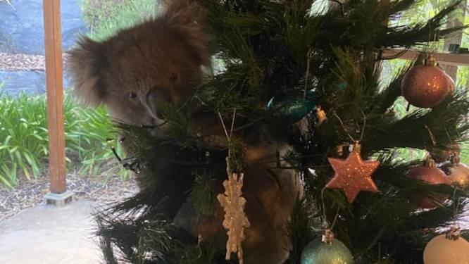 Nieuwsgierige koala sluipt woning binnen en klimt in kerstboom