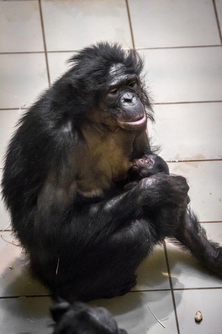 Bonobo Busira met Rubani.