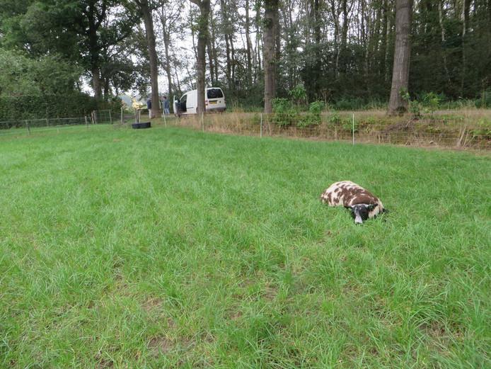 Gewond schaap Schaapskudde Neede door lopslopende hond