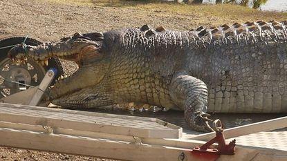 80-jarige krokodil van 5 meter gevonden in Australië, maar onbekenden hebben haar doodgeschoten