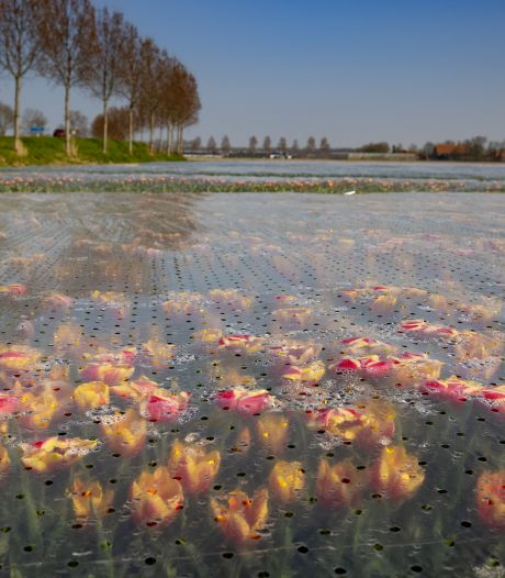 Nog geen kleurenpracht door aanhoudende kou: Tulpenroute Flevoland begint later