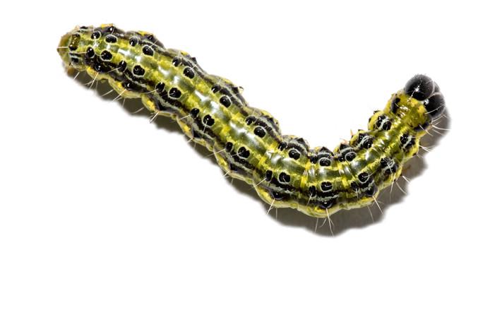 Buxusrups, cydalima perspectalis (wordt Buxusmot)