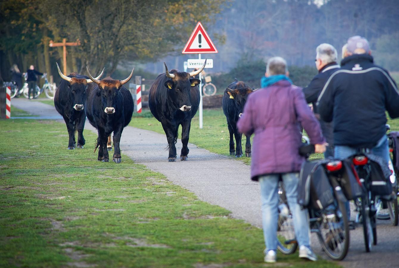 Enkele taurossen kuieren midden in de Maashorst op het fietspad Schaijk-Uden.