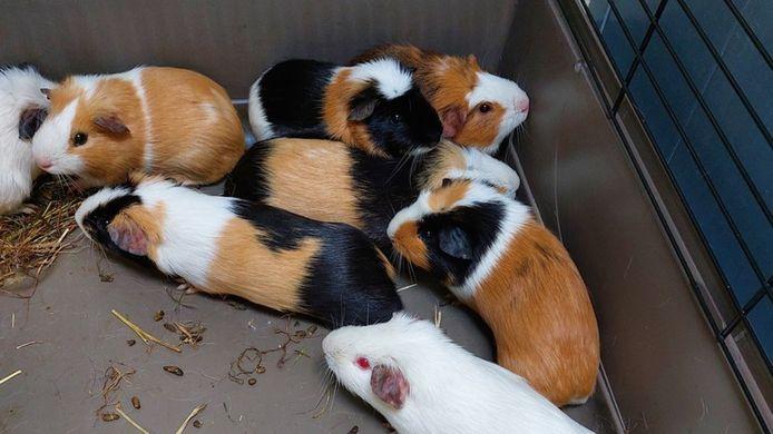 De cavia's zitten nu veilig in een schoon onderkomen. In afwachting van hun nieuwe thuis.