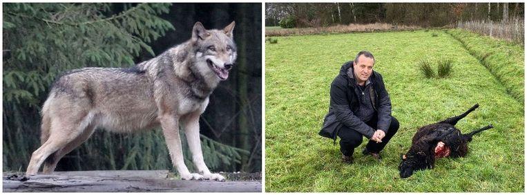 In Zoersel doodde naar alle waarschijnlijkheid een wolf twee schapen. Beeld AFP/emz