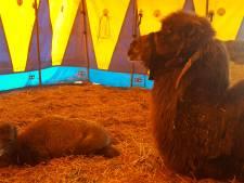 Kameeltje geboren bij Circus Renz in Almelo