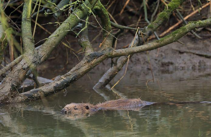De bever is een op en top waterdier