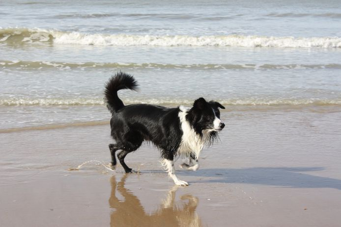 Het is opnieuw toegelaten om met de hond te wandelen op het strand van Middelkerke.