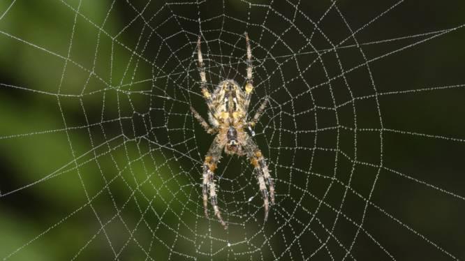 Dramatisch: 99% minder kruisspinnen in Europa op enkele decennia