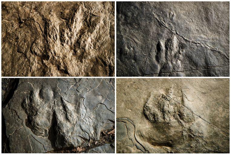 De versteende sporen van de dinosaurussen. Rechts onderaan de afdruk van het reptiel dat verwant is met onze moderne krokodil.
