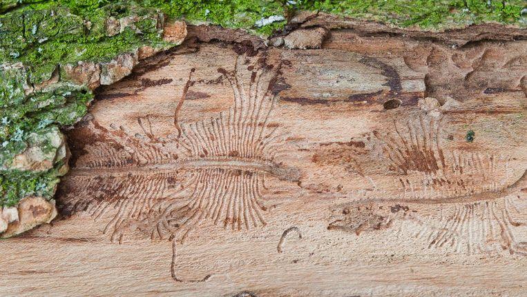Sporen van de iepenspintkever onder de bast van een iep. De kever geldt als een van de voornaamste verspreiders van de schimmel Beeld Shutterstock