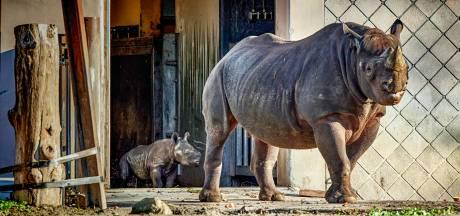 Discussie over toekomst van Blijdorp: 'Steeds meer ongemak over het houden van wilde dieren'