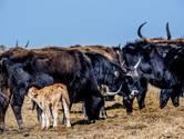 Actiegroep hervat bijvoeren grazers in Oostvaardersplassen