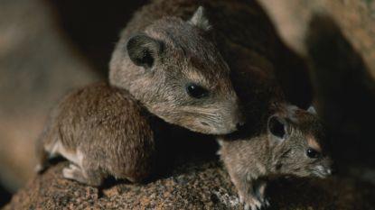 Rat ruikt gevaarlijke vorm van tbc binnen enkele minuten