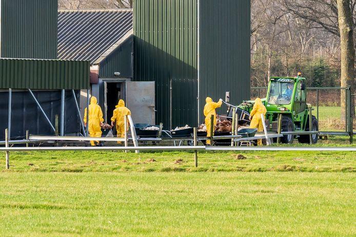 Het besmette pluimveebedrijf aan de Sonseheideweg in Sint-Oedenrode wordt geruimd, zaterdag.