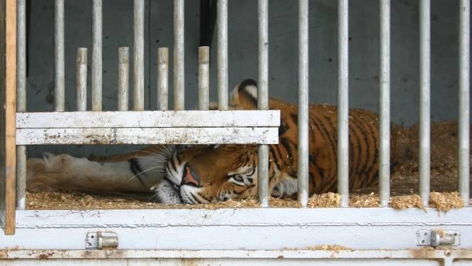Tijger bijt verzorger dood in Oekraïense zoo