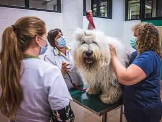 """Op bezoek in de enige bloedbank voor honden en katten die dringend donoren zoekt: """"Paddy denkt dat ie getrimd wordt"""""""