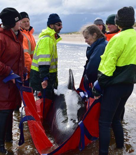 Meer dan 100 walvissen gered na massale stranding in Australië
