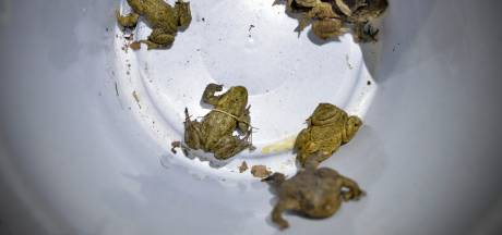 Dit jaar extreem weinig kikkers en padden in Rozendaal