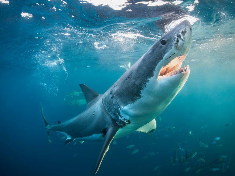 Een grote witte haai, zo eentje als in de film Jaws  Beeld Getty Images