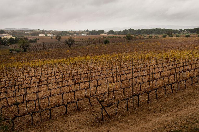 Bodegas Torres, een historisch wijnbouwbedrijf gevestigd in Catalonië, ligt er verdord bij. Een gevolg van de extreme hitte.   Beeld Eva Faché