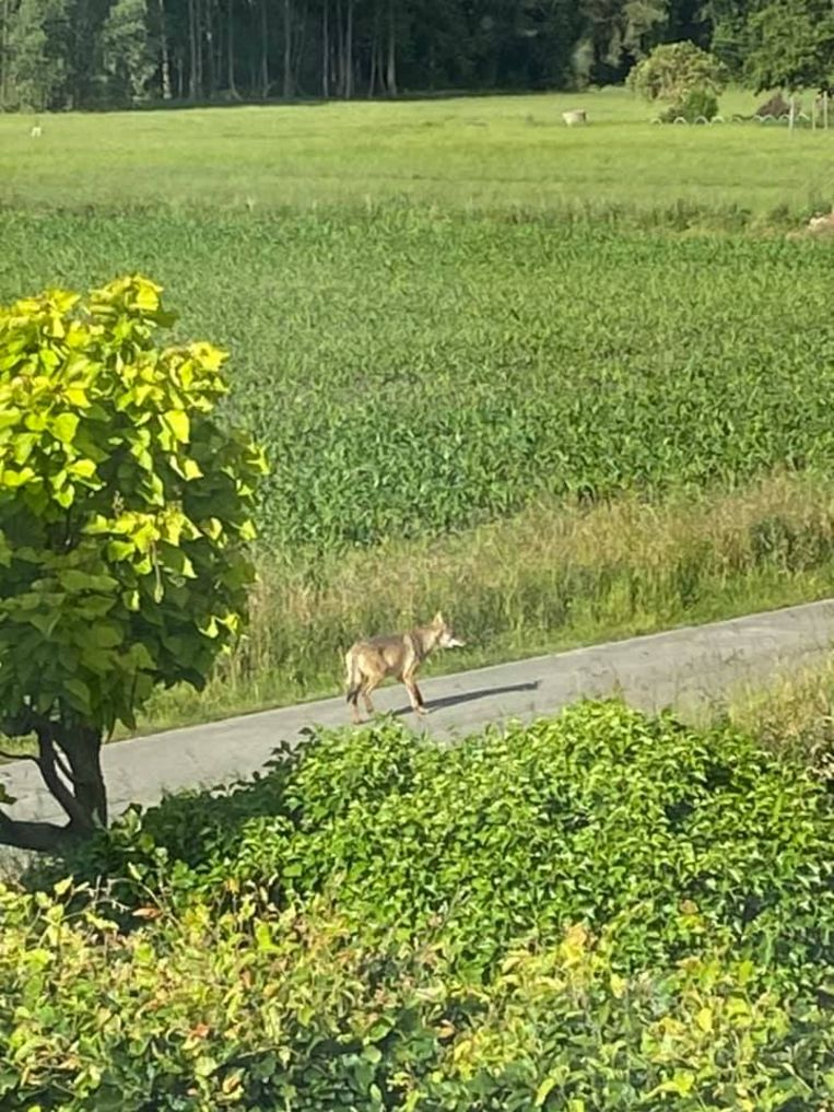 De wolf in Duffel
