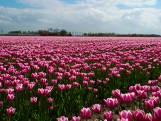 Deze tulpen doen aan een groeispurt