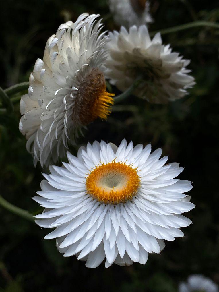Helichrysum bracteatum. Beeld Elspeth Diederix