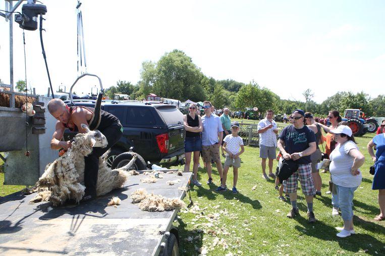 Een demonstratie schapen scheren.