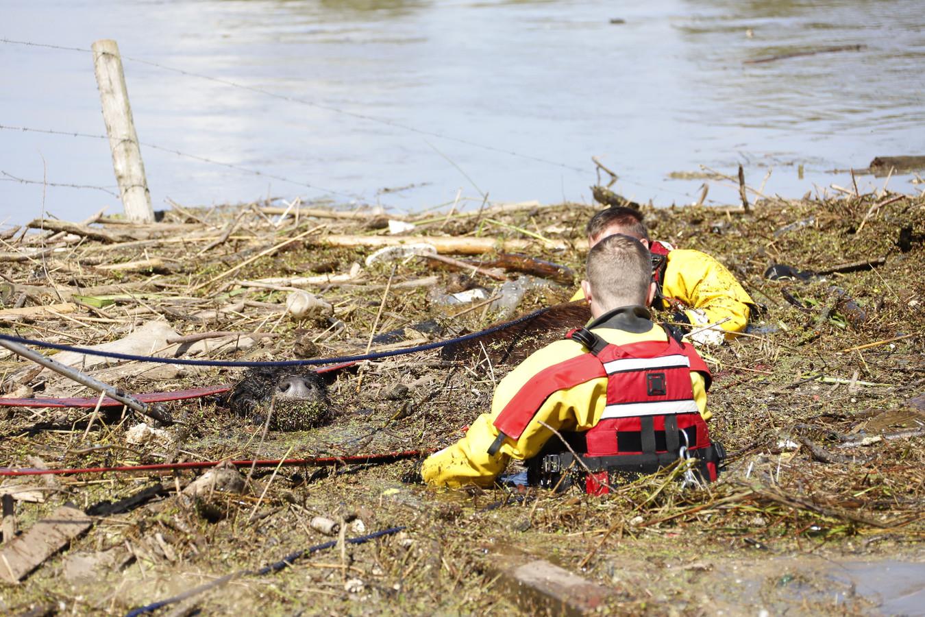 Manschappen Hayco Croijmans (r) en Harold van Thiel van de brandweer proberen Leonarda 12 uit het water te krijgen.