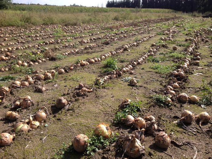 De uien voor de Voedselbank liggen te drogen op het land bij zorgboerderij Slangenburg.