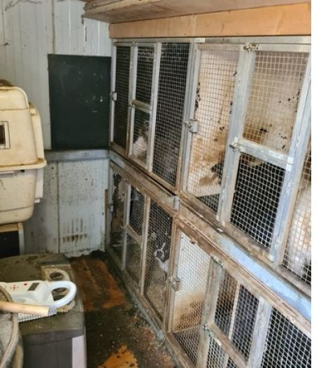 Graatmager, navelbreuken, slechte gebitten: toestand van 47 geredde hondjes in Utrecht is 'diep triest'
