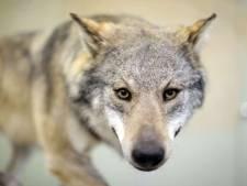 Werd de wolf gevonden in Luttelgeest of Marknesse?