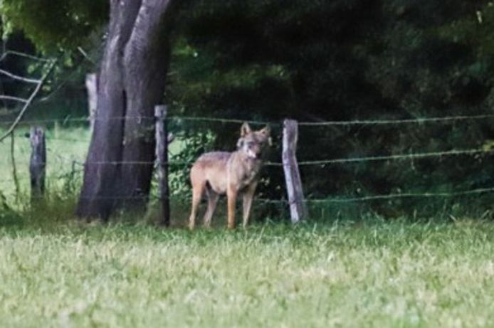 De wolf in Duffel.