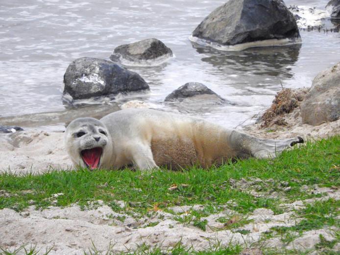 Een 'roepende' zeehondenpup.