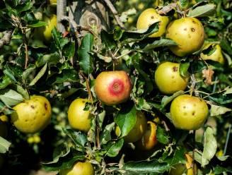 Fruitsector kent omzetverlies van 11,7 procent: door hitte kelderden appelprijzen met 51 procent