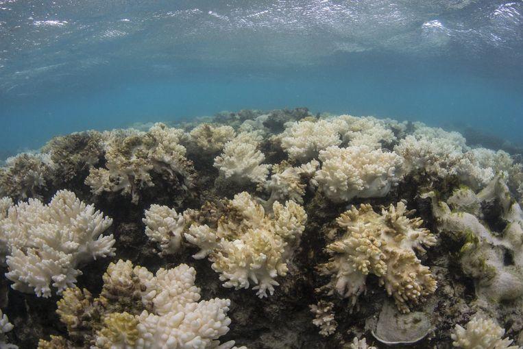 Afgestorven koraal aan Lizard Island, in het Great Barrier Reef voor de kust van Australië. Beeld epa
