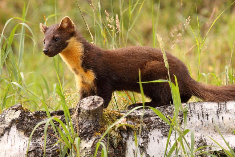 De boommarter is één van de meest bedreigde soorten in ons land. Mensen die meedoen met waarnemingen.be spotten er heel zelden eentje. Beeld ThinkStock