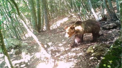 Voortvluchtige beer die ontsnapte uit Italiaans dierenpark na 10 maanden gevangen