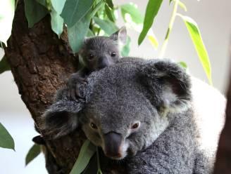 Aantal koala's zorgwekkend gedaald in Australië