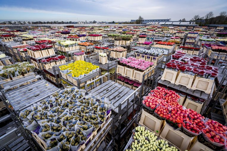 Op de bloemenveiling in Aalsmeer staan karren vol overbodig geworden bloemen te wachten tot ze vernietigd worden. Beeld ANP