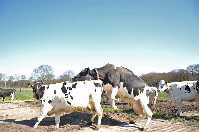 Uitgelaten stemming onder de koeien van boer Schouten nadat ze zaterdagmorgen weer de wei in mochten.