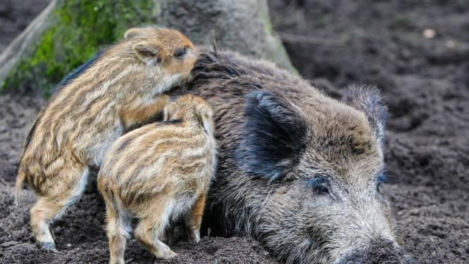 Faunabescherming: 'Stop met afschieten edelherten en zwijnen om wolf te beschermen'