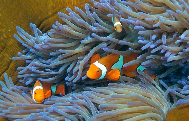 Vissen in het Groot Barrièrerif. Beeld AFP