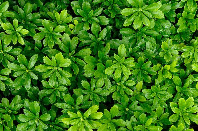 De naam zegt het al: Green Carpet