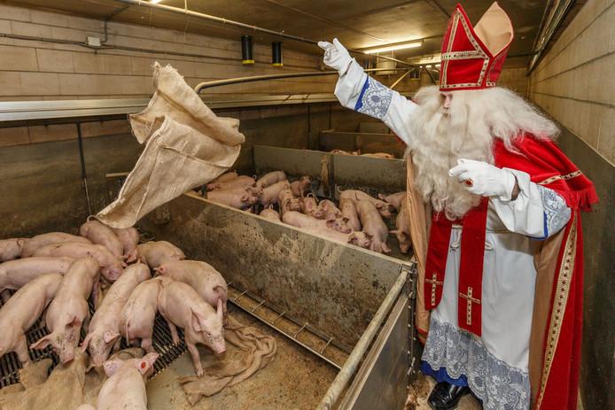 Sinterklaas bezorgt eerste lading jute zakken bij varkensboer.