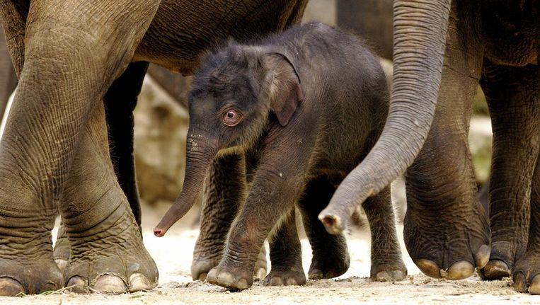 Het olifantje Swe Zin werd in 2007 geboren in het dierenpark. © ANP Beeld