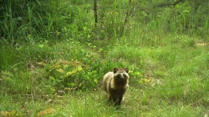Wilde dieren profiteren van stilte en heroveren rampgebied Fukushima