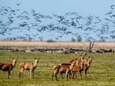 De pil of de kogel: wat houdt de herten in de Oostvaardersplassen in toom?