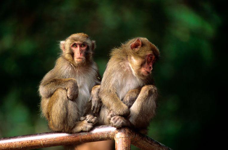 In het Japanse natuurreservaat Takasakiyama zwermen makaken vrij rond. Beeld Alamy Stock Photo